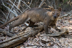 Fossa inside a forest Royalty Free Stock Photo