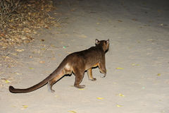 Fossa, kirindy Stock Photo
