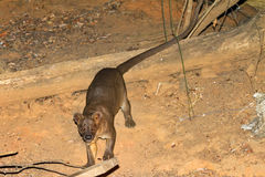 Fossa Kirindy Stock Photography