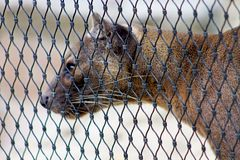 Fossa locked in cage royalty free stock image