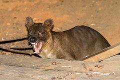 Fossa Madagascar. Fossa (Cryptoprocta ferox), the biggest predator of Madagascar in the dry forest of Kirindy Mitea National Park Stock Images