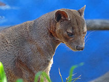 Fossa. Madagascar Predator Looking Downward Right Stock Photos