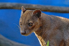 Fossa. Madagascar Predator Looking Intently Left Stock Image