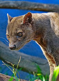 Fossa. Madagascar Predator Looking Intently Left Stock Photo