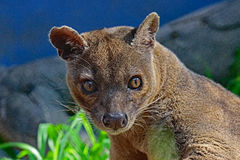 Fossa. Madagascar Predator Looking At Viewer Royalty Free Stock Image