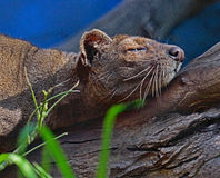 Fossa. Madagascar Predator Sleeping On Tree Branch Stock Photography
