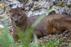 Fossa Royalty Free Stock Photos
