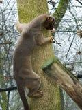 Fossa on tree stock images