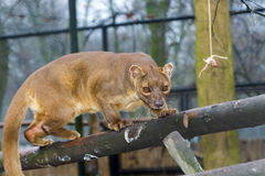 Fossa on tree Royalty Free Stock Photo