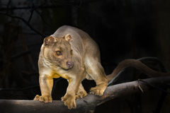 Fossa on tree Royalty Free Stock Image