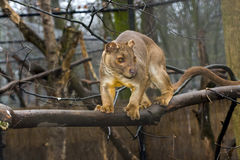 Fossa on tree Stock Photography
