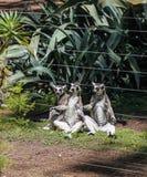 Fossaen är a katt-som, den köttätande däggdjurs- endemisken till Madagascar royaltyfria bilder