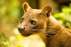 Fossaen Cryptoproctaferox är den största rovdjuret för Madagascar ` s, Madagascar arkivbilder