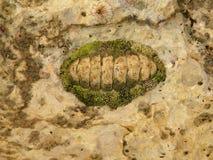 Fossiel Stock Afbeelding