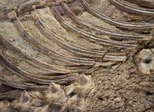 Fossiel Detail Royalty-vrije Stock Afbeeldingen
