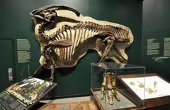 Fossiel skelet van een dinosaurus Royalty-vrije Stock Foto