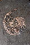 Fossiel van ammoniet Stock Afbeeldingen