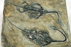 Fossiel van dinosaurus stock afbeeldingen