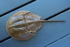 Fossiel van een bruine krab van de paardschoen met lange staart en harde shell royalty-vrije stock afbeeldingen