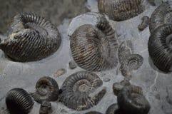 Fossiel van shells Stock Foto's