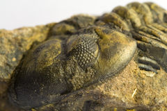 Fossiel van trilobite Royalty-vrije Stock Foto's