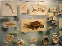 Fossiele garnalen Royalty-vrije Stock Fotografie