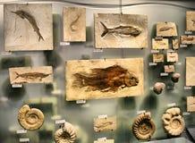 Fossiele garnalen Royalty-vrije Stock Foto