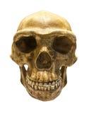 Fossiele schedel van Homo-Antecessor Royalty-vrije Stock Fotografie