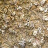 Fossiele Shell stock afbeelding