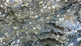 Fossiele shell op het afzettingsgesteente Royalty-vrije Stock Afbeeldingen