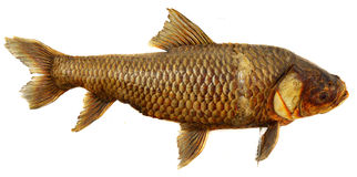 Fossiele vissen Royalty-vrije Stock Foto