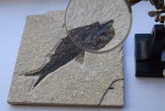 Fossiele vissen onder vergroting Royalty-vrije Stock Afbeelding