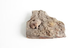 Fossil Royalty Free Stock Image