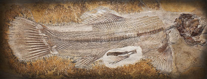 Fossil. Close-up shot of a fossil of a prehistoric fish Stock Images