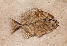 Fossil. Of a prehistoric fish Stock Photo