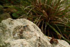 Fossil. A shell fossil in stone with a grass cluster in the background Royalty Free Stock Photography