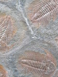 Fossil. Abstract background of fossils properly as a basis Royalty Free Stock Photography