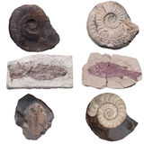 Fossil Ammonite isolate background with clipping path Stock Images