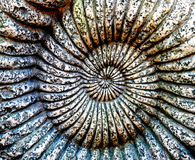 Fossil of Ammonite in a stone Stock Photography