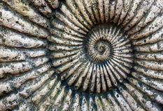 Fossil of Ammonite in stone Stock Images