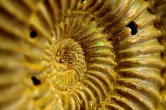 Fossil of ammonites. Ancient fossil  ammonites of the jurassic period Stock Photos