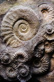 Fossil ammonites Stock Photography