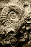 Fossil ammonites stock photos