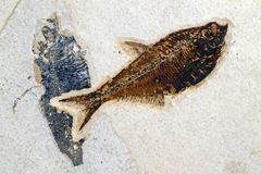 Fossil of ancient fish diplomystus Royalty Free Stock Image