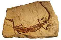 Fossil of ancient reptile in rock. Fossil of ancient reptile in the rock Stock Photos
