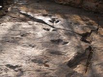 Fossil av det växtätande dinosaurie`-fotspåret på Phu Kum Khao Arkivfoton