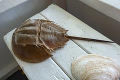 Fossil av en brun hästskokrabba med den långa svansen och det hårda skalet royaltyfria bilder