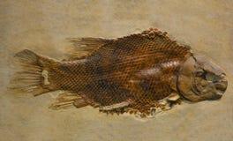 Fossil av en fisk Royaltyfria Bilder
