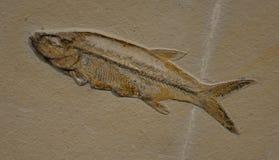 Fossil av en fisk Arkivbild