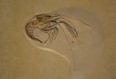 Fossil av en krabba Royaltyfri Bild